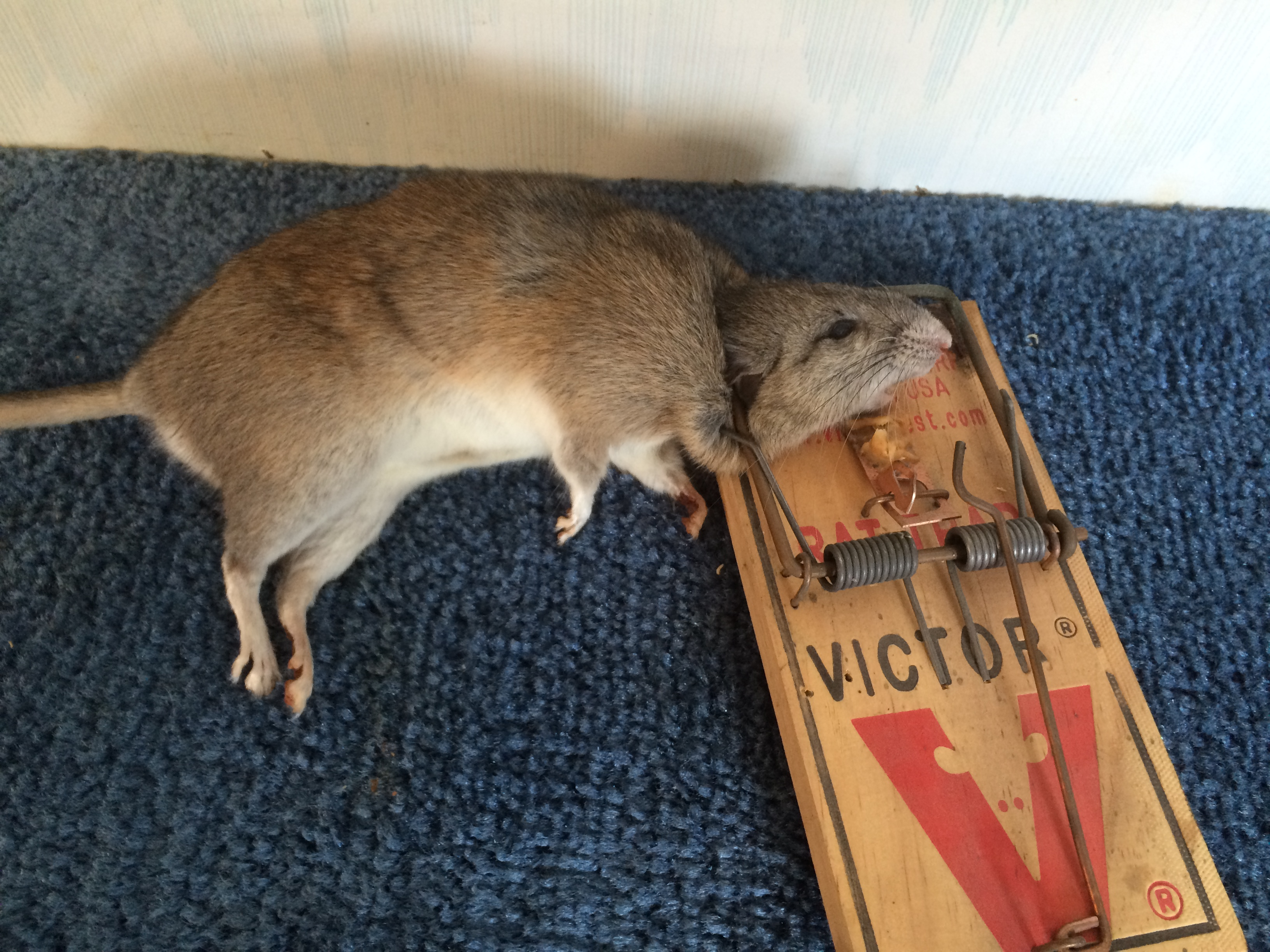 Kids Mice And Rats The Medical Risks Of Rodents In Your